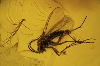 Four Detailed Fossil Flies (Diptera) In Baltic Amber For Sale, #102752