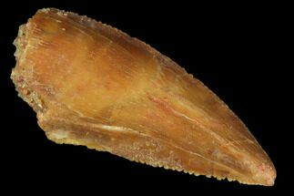 ".8"" Raptor Tooth - Real Dinosaur Tooth For Sale, #102713"