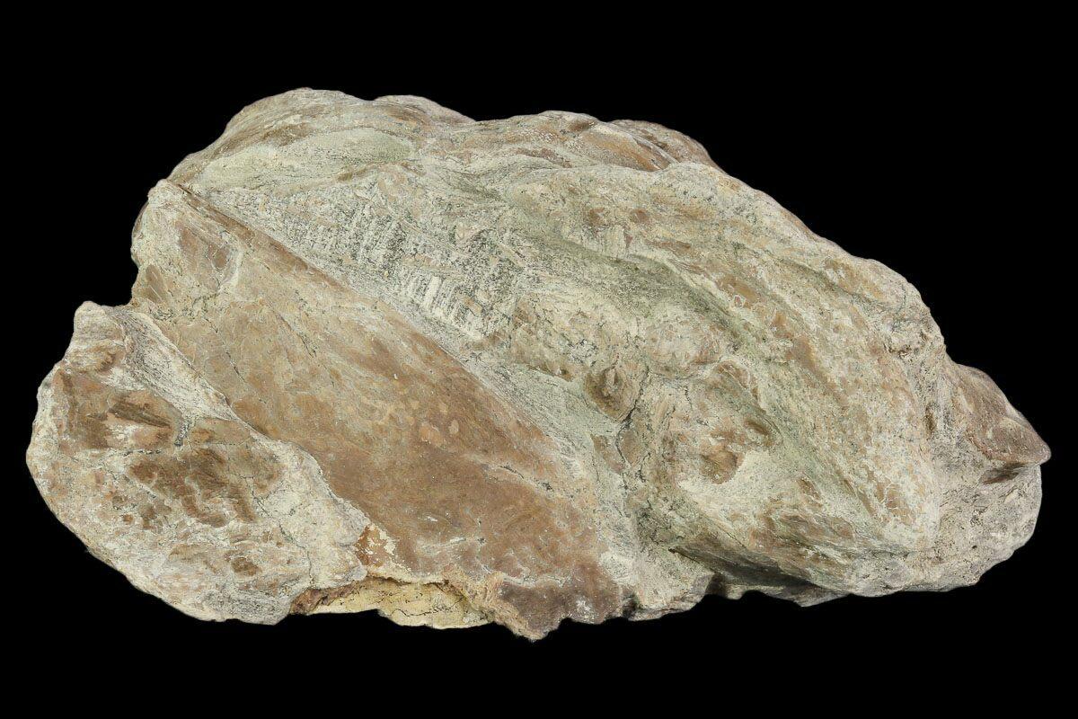 "3.6"" Xiphactinus (Cretaceous Fish) Vertebra - Kansas For ..."