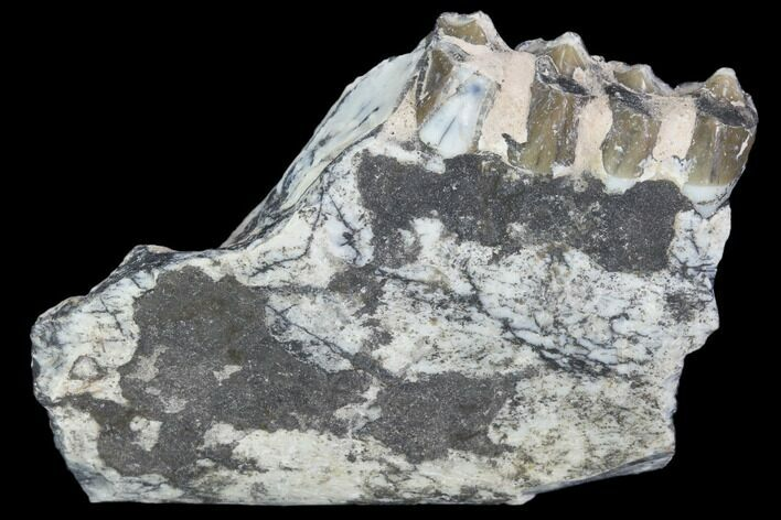 "2.2"" Oreodont (Leptauchenia) Jaw Section - South Dakota"