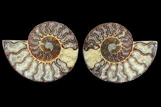 Cleoniceras - Fossils For Sale - #103083