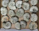 Wholesale: 5Kg Bumpy Ammonite (Douvilleiceras) Fossils - 26 pieces - #103216-2