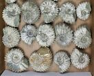 Wholesale: 5Kg Bumpy Ammonite (Douvilleiceras) Fossils - 24 pieces - #103219-2