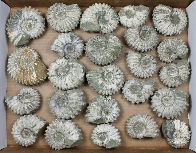 Wholesale: 5Kg Bumpy Ammonite (Douvilleiceras) Fossils - 24 pieces