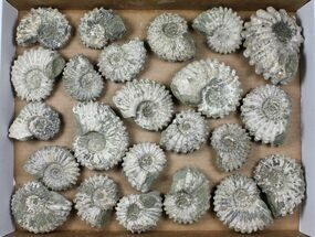 Buy Wholesale: 5Kg Bumpy Ammonite (Douvilleiceras) Fossils - 23 pieces - #103222