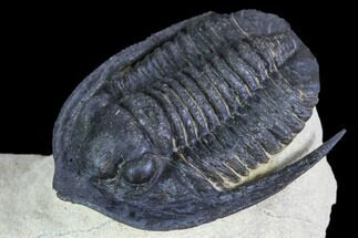 "1.1"" Diademaproetus Trilobite - Foum Zguid, Morocco For Sale, #103892"