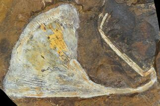 Ginkgo adiantoides - Fossils For Sale - #103881