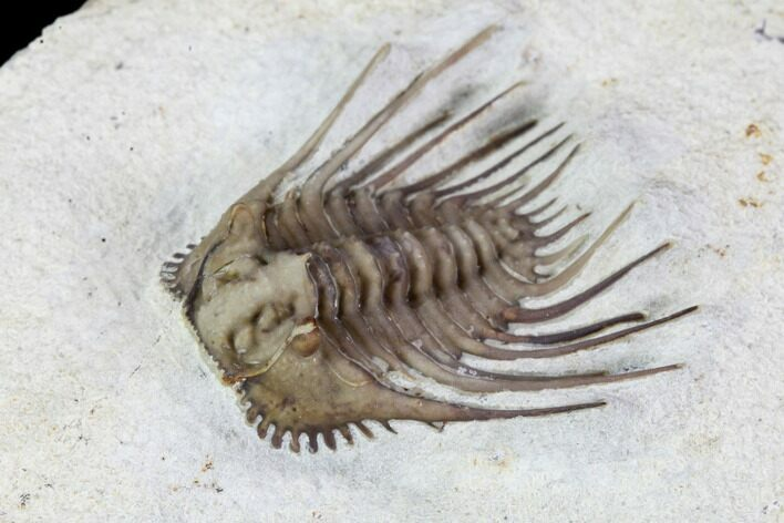 "Exceptional, .95"" Kettneraspis Trilobite - Black Cat Mountain"