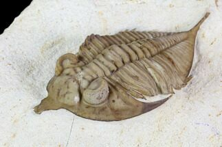 Huntonia huntonensis  - Fossils For Sale - #104085
