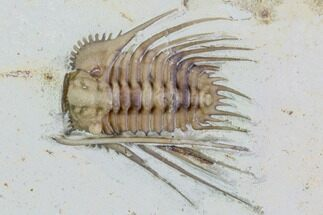 ".9"" Kettneraspis Trilobite - Black Cat Mountain For Sale, #104114"
