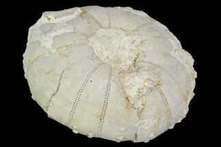 Heterodiadema libyca - Fossils For Sale - #104478