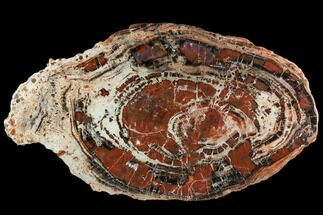 "23.5"" Red/Black Petrified Wood (Araucarioxylon) Slab - Arizona For Sale, #104591"