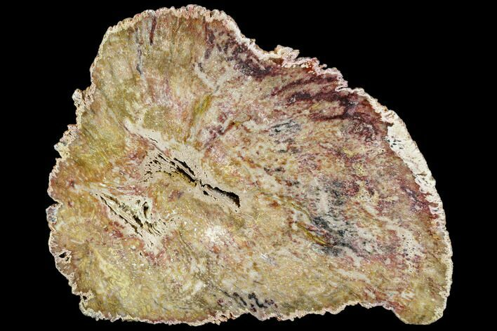 "7.9"" Petrified Hardwood Slab ""Double-Hearted"" - Burma"