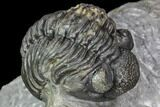 "1.9"" Adrisiops Weugi Trilobite - New Phacopid Species - #104963-2"