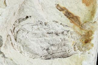 "Buy .6"" Fossil Pea Crab (Pinnixa) From California - Miocene - #105034"