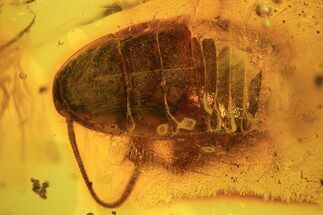 Fossil Cockroach (Blattoidea) & Flower Stamen In Baltic Amber - Rare! For Sale, #105458