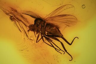 Detailed Fossil Fly (Diptera) In Baltic Amber For Sale, #105467