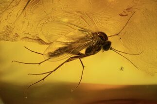 Detailed Fossil Fly (Diptera) In Baltic Amber For Sale, #105473