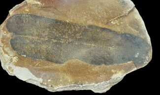 "Buy 3.1"" Macroneuropteris Fern Fossil (Pos/Neg) - Mazon Creek - #104791"