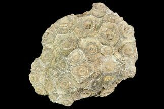 "Buy 3.9"" Fossil Coral (Actinocyathus) Head - Morocco - #105721"