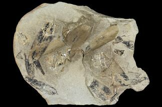 Neuropteris - Fossils For Sale - #106059