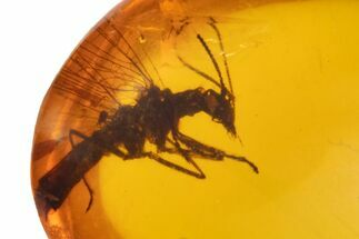 Buy Cretaceous Fossil Snakefly (Raphidioptera) in Amber - Myanmar - #105859