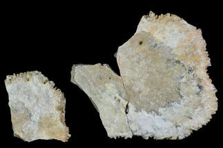 "Buy 1.7"" Two Unidentified Dinosaur Skull Fragments - Aguja Formation - #105091"