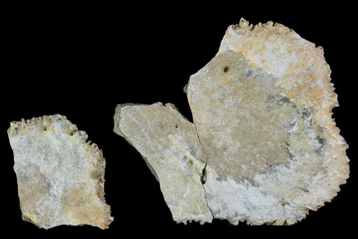 "1.7"" Two Unidentified Dinosaur Skull Fragments - Aguja Formation"