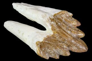 Unidentified Basilosaur - Fossils For Sale - #106335