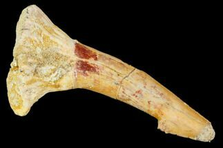 "2.7"" Fossil Sawfish (Onchopristis) Rostral Barb- Morocco For Sale, #106385"