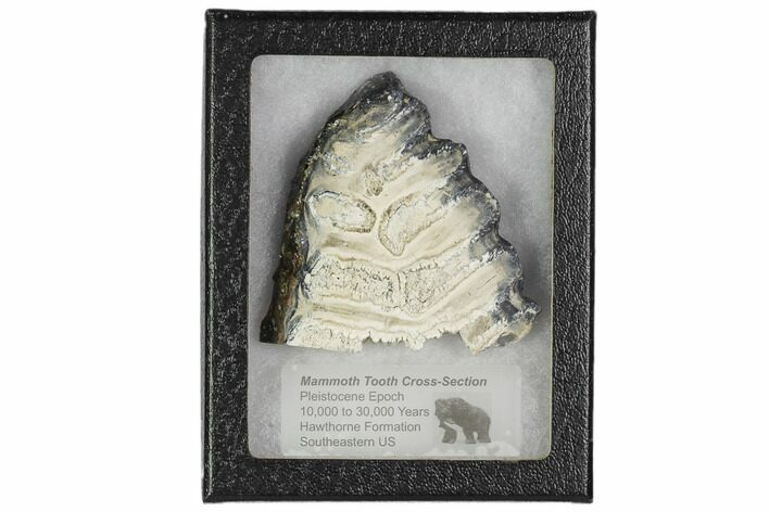 "3.3"" Mammoth Molar Slice With Case - South Carolina"