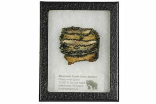 "Buy 2.2"" Mammoth Molar Slice With Case - South Carolina - #106501"