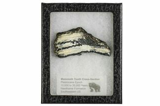 Mammuthus columbi - Fossils For Sale - #106530