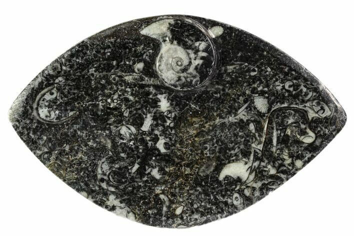 "5.2"" Wide, Fossil Goniatite Dish - Morocco"