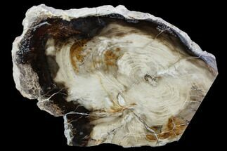 "Buy 6.4"" Polished Petrified Wood Slab - Oregon - #106372"