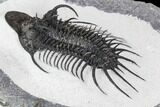 "3.15"" New Trilobite Species (Affinities to Quadrops) - #107002-2"