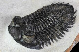 "2.75"" Coltraneia Trilobite Fossil - Huge Faceted Eyes For Sale, #106982"