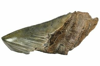 "5"" Partial Fossil Megalodon Tooth - Serrated Blade For Sale, #106943"