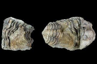 Calymene sp. - Fossils For Sale - #106620