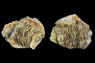 Calymene sp. - Fossils For Sale - #106623