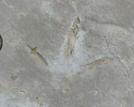 ".8"" Fossil Bird Track - Green River Formation, Utah For Sale, #105518"