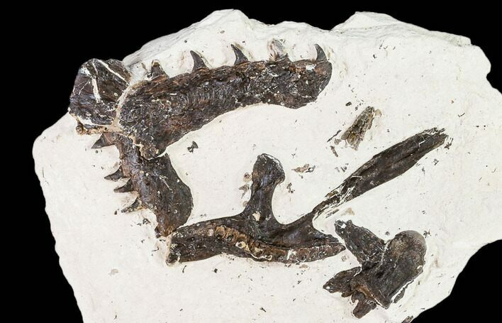 "5.9"" Partial, Disarticulated Mosasaur Skull  - Goulmima, Morocco"