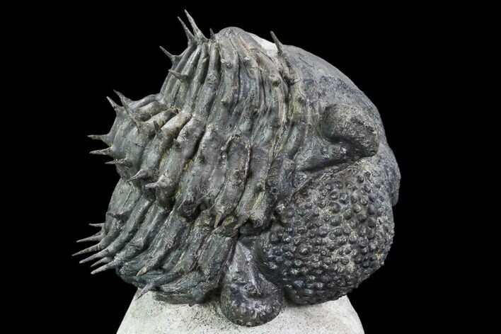 "Bargain, Spiny, Enrolled Drotops Armatus Trilobite - 5"" long"