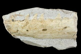 "3.6"" Fossil Mosasaur (Tethysaurus) Jaw Section  - Goulmima, Morocco For Sale, #107087"