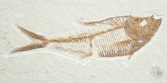 "Buy 3.1"" Diplomystus Fossil Fish - Wyoming - #7558"