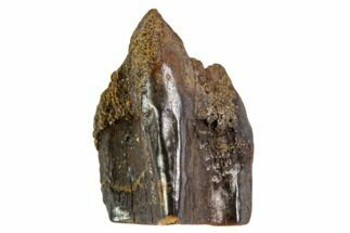 Edmontosaurus annectens - Fossils For Sale - #106068