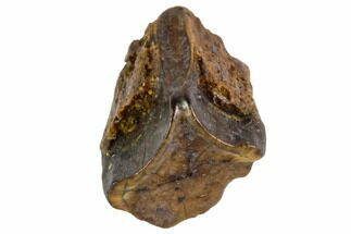 Edmontosaurus annectens - Fossils For Sale - #106071