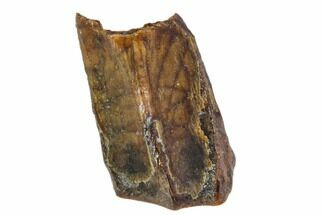 "Buy .32"" Edmontosaurus (Duck-Billed Dinosaur) Shed Tooth - #106084"