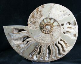 "Beautiful 9.7"" Choffaticeras Ammonite - Half For Sale, #7577"