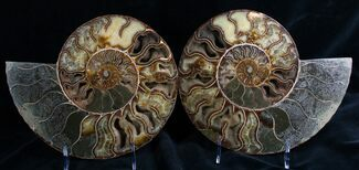 "Buy Huge 9.5"" Split Ammonite Pair - Agatized - #7579"